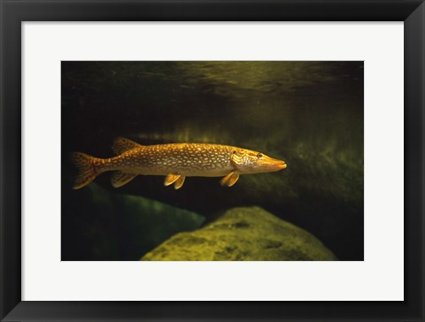 Framed Golden Speckled Fish Underwater Print