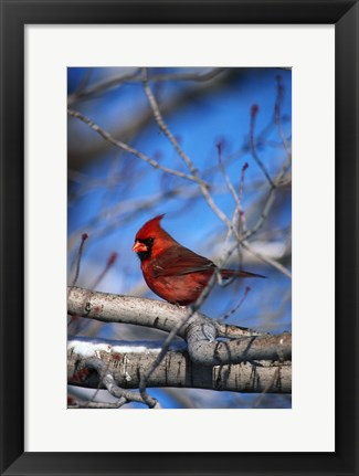 Framed Cardinal On Birch Branch Print