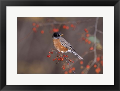 Framed Gray Bird And Red Berries Print