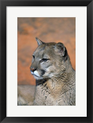 Framed Mountain Lion Portrait Print