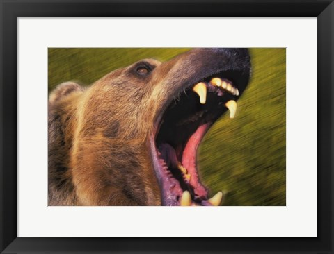 Framed Roar Of The Beast Print
