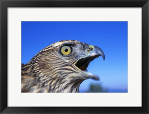 Framed Yellow Eyed Feathered Cry Print
