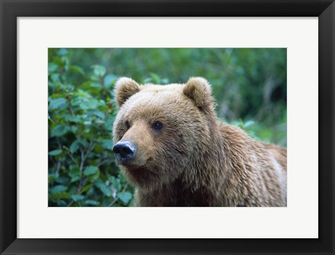 Framed Brown Bear Stare Print