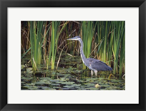 Framed Wading Bird And Lily Pads Print