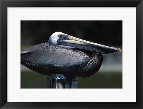 Framed Black Pelican Sitting Print