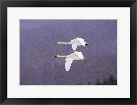 Framed Fliying Gease Evening Snow Print