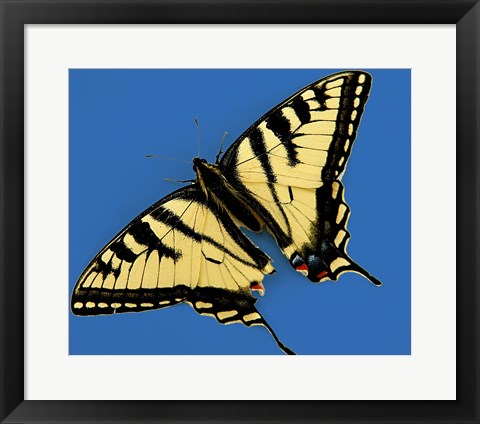 Framed Eastern Tiger Swallowtail Butterfly Print