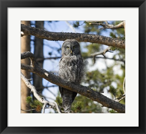 Framed Gray Owl Green Eyes Print