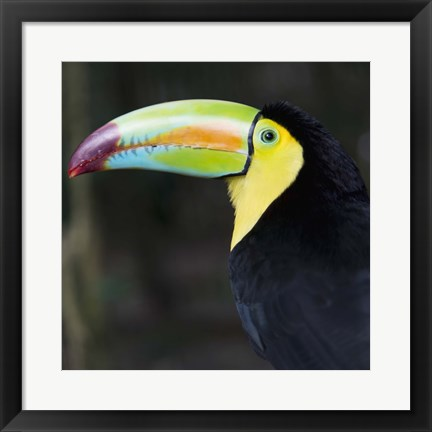 Framed Toucan Profile Print