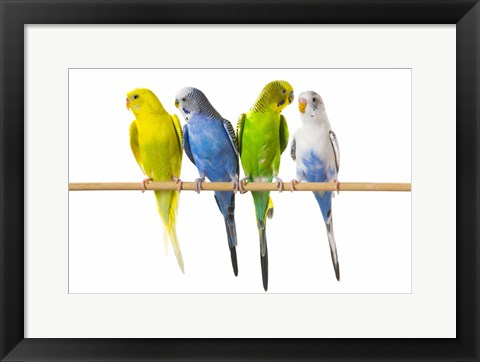 Framed Four Love Birds - Front View Print