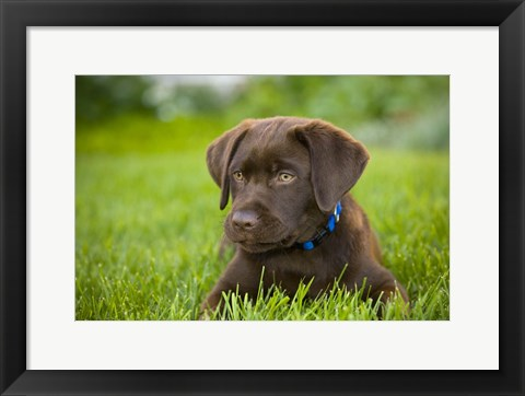 Framed Chocolate Puppy Print