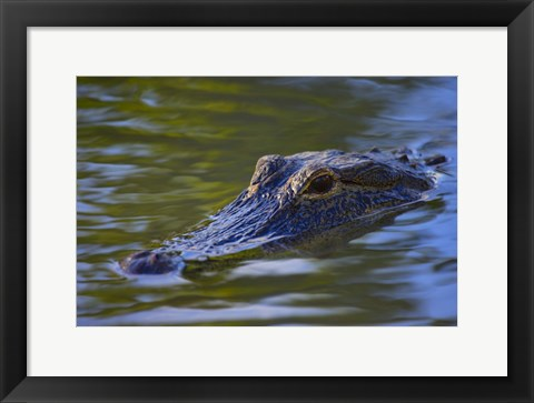 Framed Submerged Crocodile Print