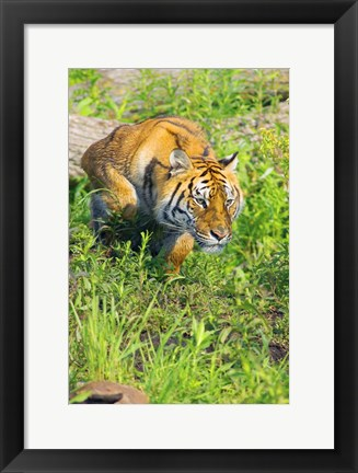 Framed Tiger Crouching Print