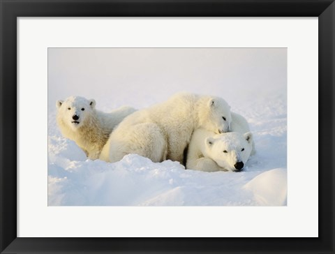 Framed Cubs Playing with Polar Bear Print