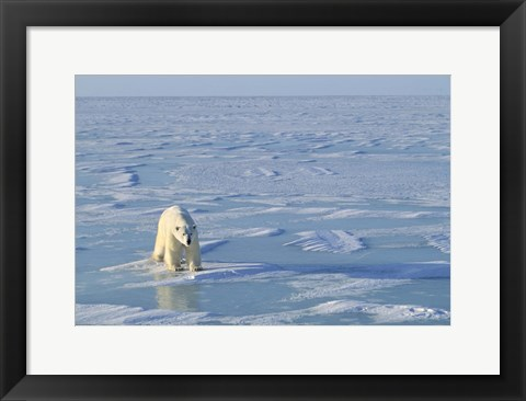 Framed Polar Bear Across the Ice Print