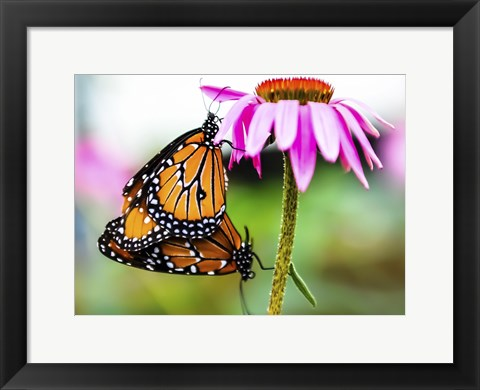 Framed 2 Butteflies Hanging Print