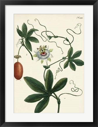 Framed Antique Passion Flower III Print