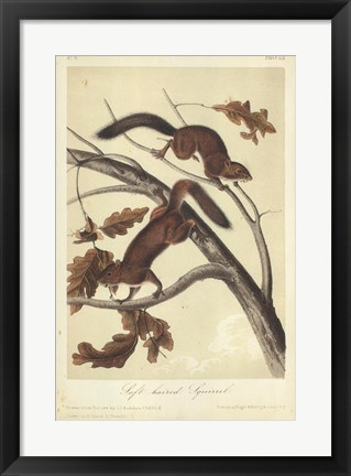 Framed Audubon Squirrel III Print