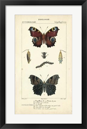 Framed Antique Butterfly Study II Print