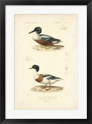 Framed Antique Duck Study II Print