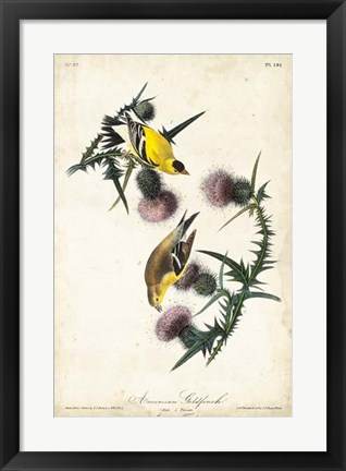 Framed American Goldfinch Print