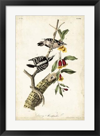 Framed Downy Woodpecker Print