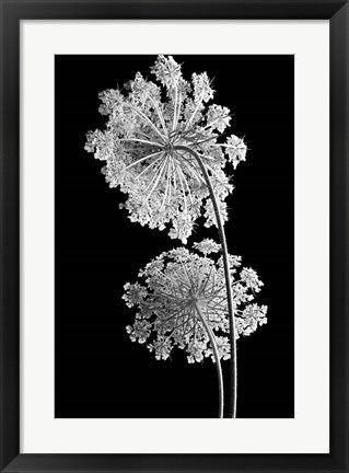 Framed Queen Anne Lace Print