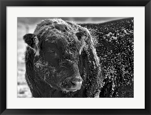Framed Snow Covered Ice Bull Print