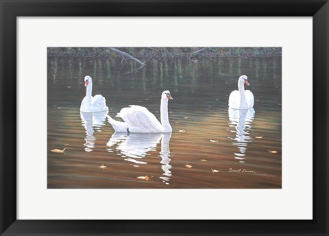 Framed Back Lit Swans Print