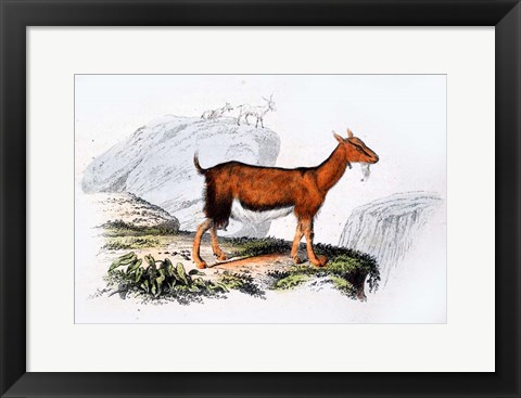 Framed Female Goat Print