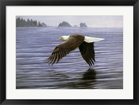 Framed Low Flight Bald Eagle Print