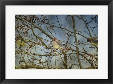 Framed Taste Of Sunshine Cedar Wax wings Print