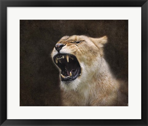 Framed Angry Lioness Portrait Print