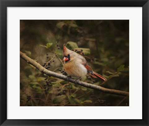Framed Anticipating Winter Cardinal 2 Print