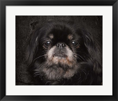 Framed Black Pekingese Portrait Print
