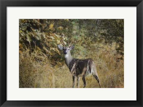 Framed Buck In Autumn Print