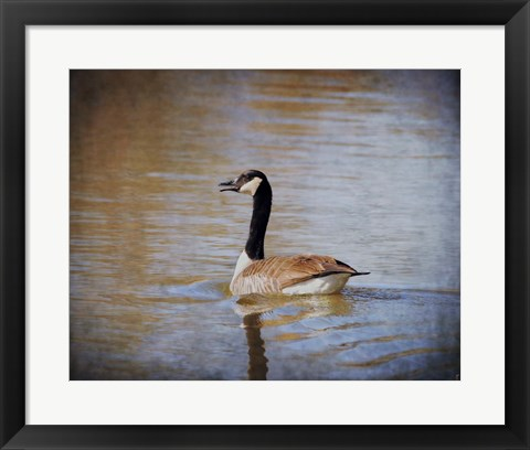 Framed Canadian Goose In The Water Print