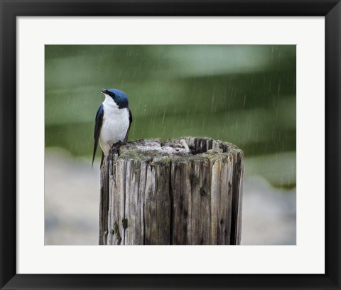 Framed Catching Raindrops Print
