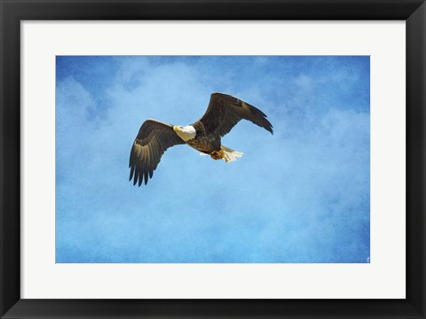 Framed Early Spring Flight Bald Eagle Print