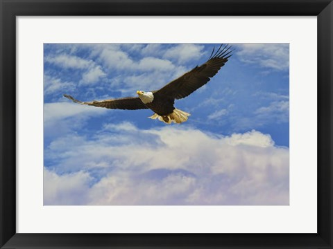 Framed Fly High Bald Eagle Print