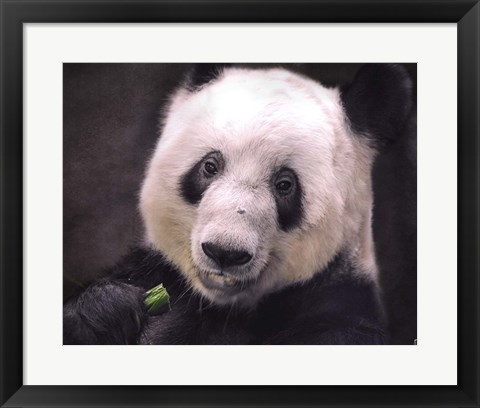 Framed Giant Panda Bear Print