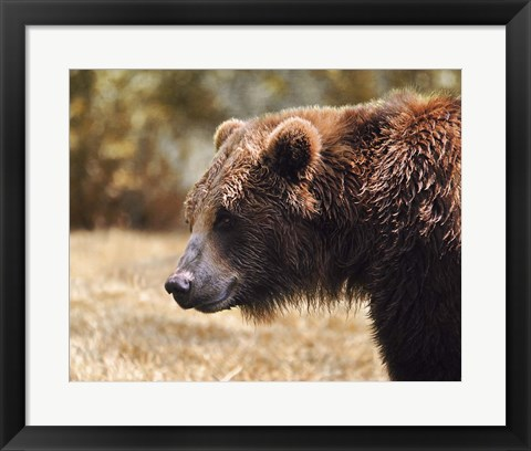 Framed Grizzly Watch Print