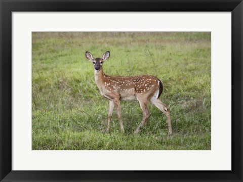 Framed Little Spotted Fawn Print