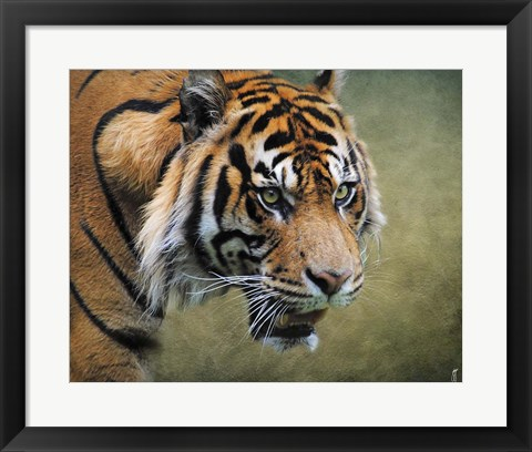 Framed On The Prowl Bengal Tiger Print