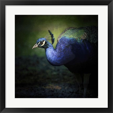 Framed Peacock 1 Print