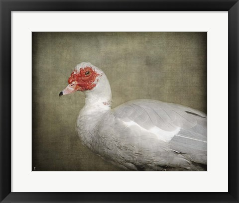 Framed Red Head Muscovy Duck Print