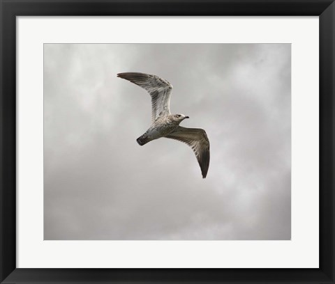 Framed Ring Billed Gull At Reelfoot Print