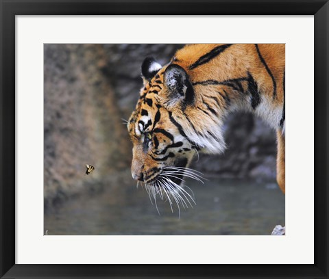 Framed Risk Taker Bengal Tiger And Butterfly Print