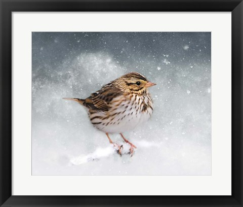 Framed Snow Sparrow Print