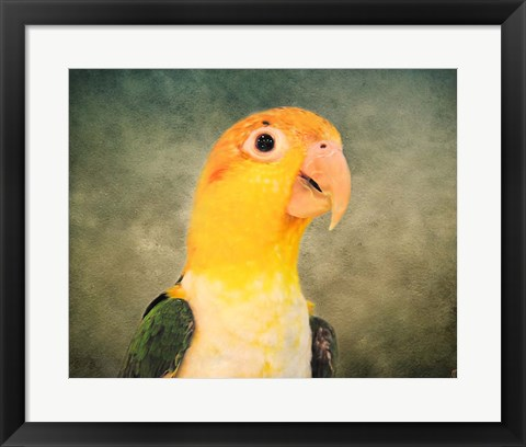 Framed White Bellied Caique Portrait Print